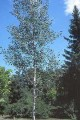 photo of Quaking Aspen (closeup)