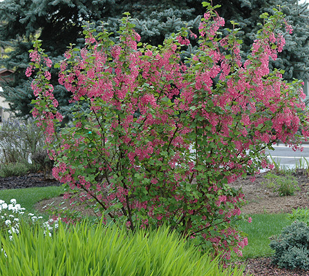 Hood river soil and water conservation district plant sale - Blooming shrubs ...
