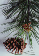photo of Ponderosa Pine (closeup)