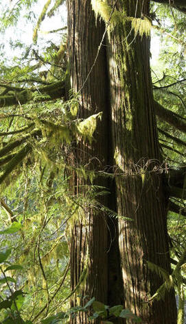 Western red cedar trees for sale oregon