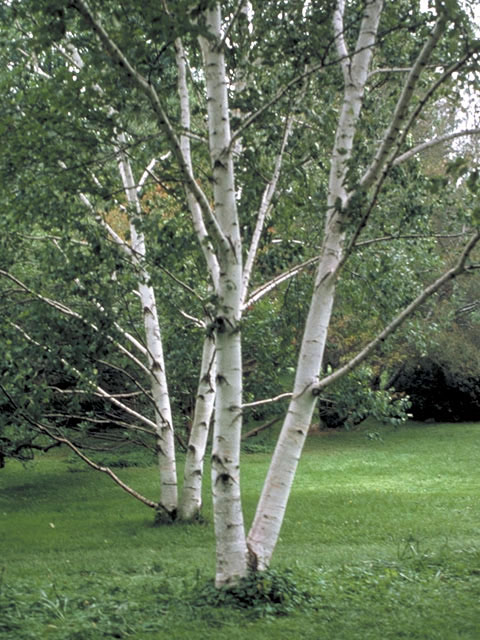 paper bark birch trees for sale Paper birch, american white birch  2 vendors have this plant for sale 8 members have  from the paper like bark that on mature trees separates in papery.